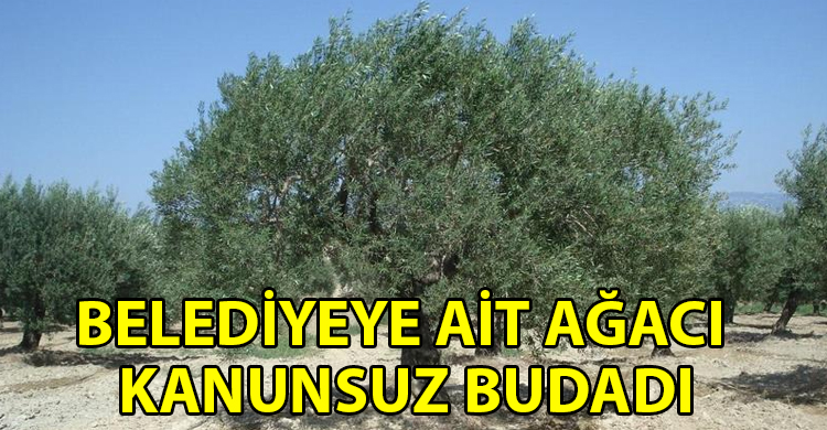 ozgur_gazete_kibris_Girne_de_kanunsuz_agac_budamasi